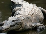 Missing man feared devoured by crocodile