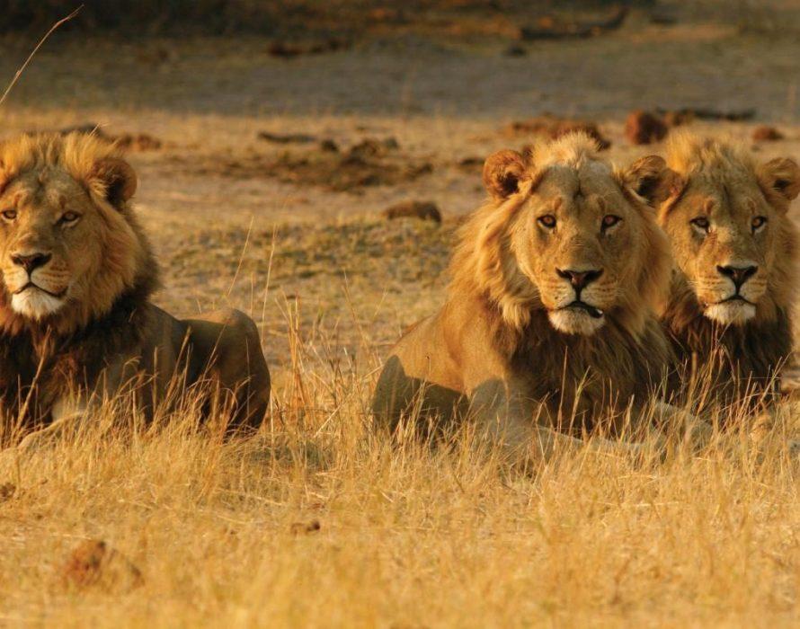 Killed by elephant, mauled by lions