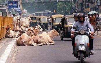Cows return to haunt India's Modi
