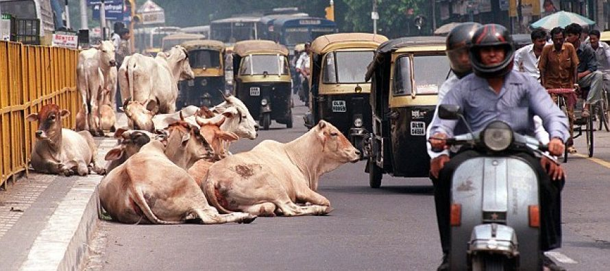 Cows return to haunt India's Modi