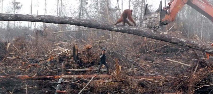 Heartbreaking footage of orangutan trying to fight off excavator