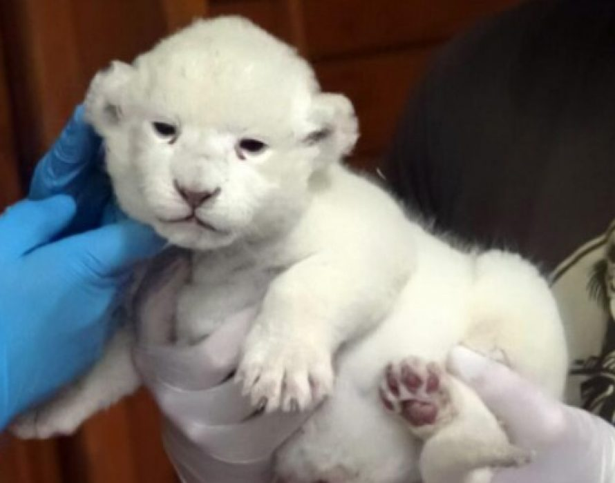 Adorable rare white lion cub  makes first appearance