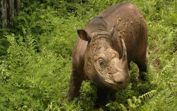 Tam, Malaysia's last male Sumatran rhino is no more