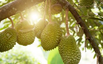 Musang King durian available online & offline in China