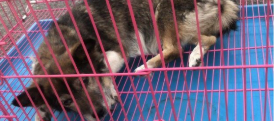 Animal rights group saves dogs from becoming delicacies