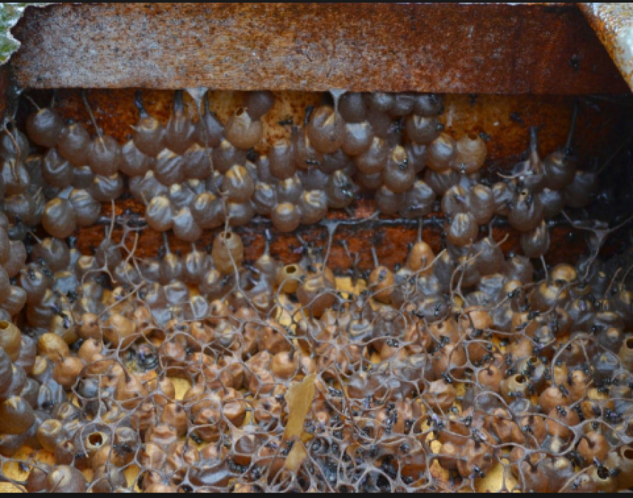 Kelulut honey brings new income for Sabah villagers
