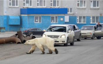 Starving polar bear wanders into Siberian city