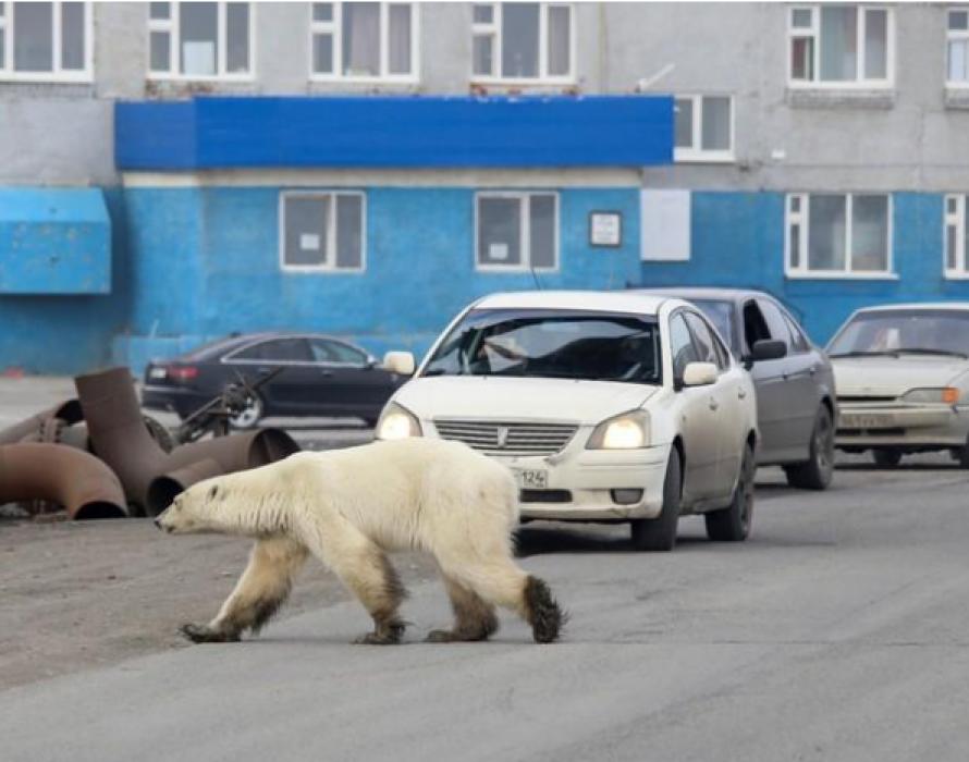 Starving polar bear wanders into Siberian city
