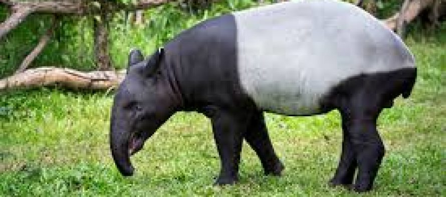 First tapir conservation centre to be built in Jelebu