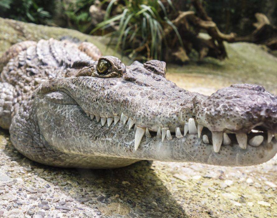 Crocodiles were vegetarians?