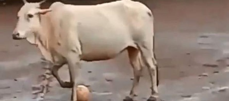 Viral video: Cow plays football with group of boys on field