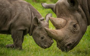 Baby rhino tries to wake its dead mother killed by poachers