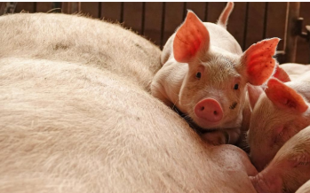 Cargill's animal-feed mills in China closes due to swine fever