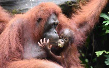 Mother orangutan hands over baby to S'pore zookeeper