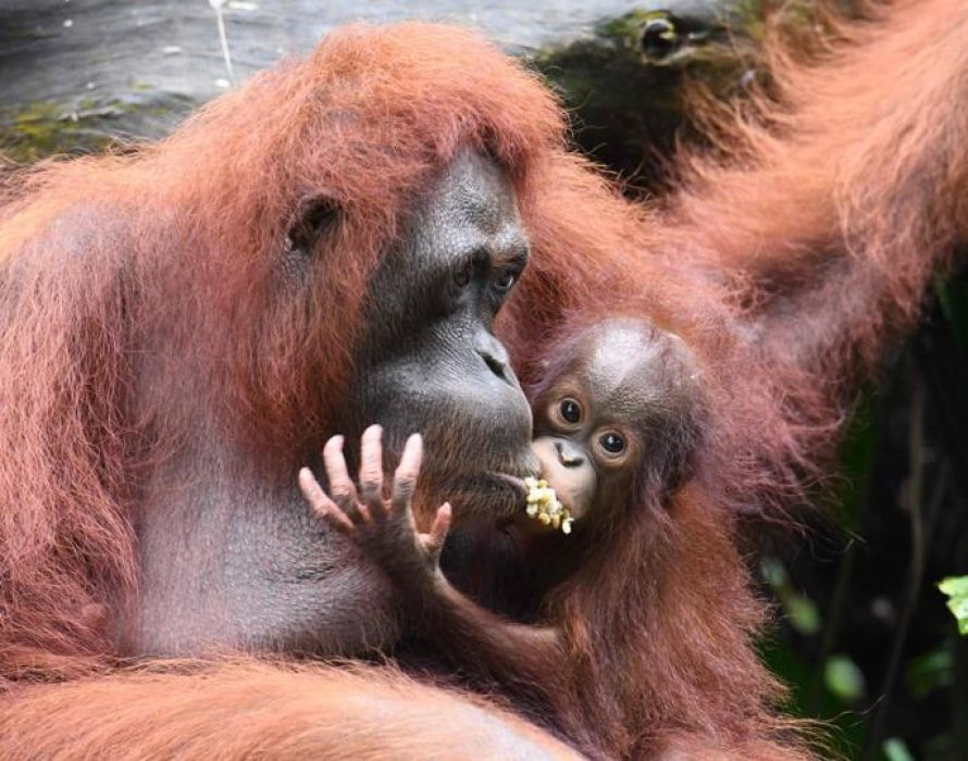 Mother orangutan hands over baby to S'pore zookeeper