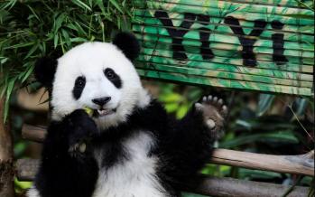 Panda cub 'Yi Yi' born in Malaysia
