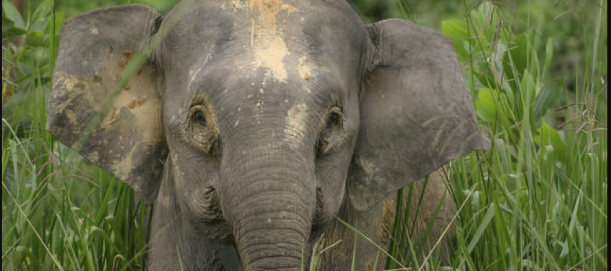 Pygmy elephant found dead with shot wound in Beluran