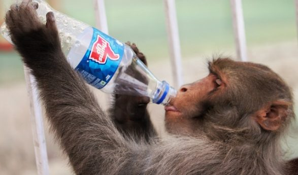 Viral video: Monkey uses dry leaves to fix leaking pipe