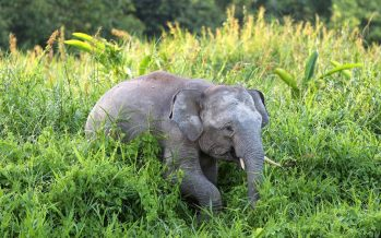 Back ankles of Pygmy elephant carcass found cut off