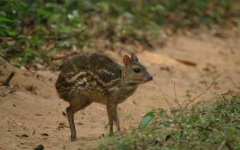 World smallest chevrotain spotted in Vietnam