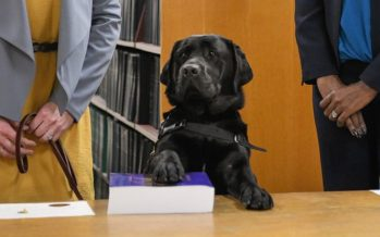 Labrador Hatty sworn in at Chicago state attorney's office for emotional support