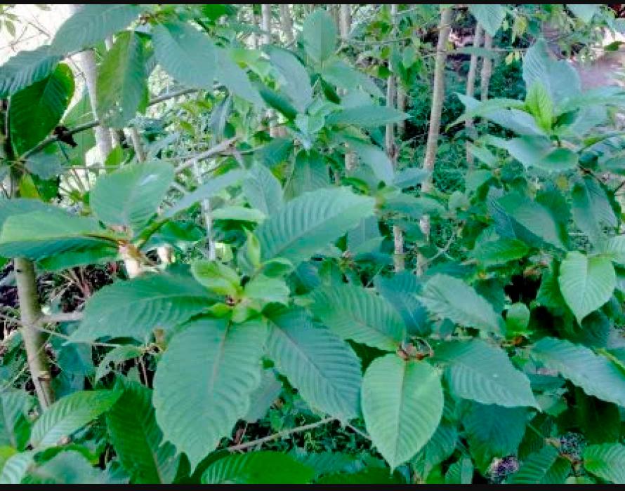 PGA7 seizes ketum leaves worth RM21,000 in Tumpat