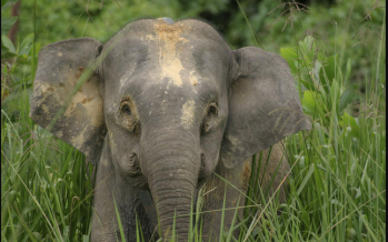 Yet another pygmy elephant found dead in Kinabatangan