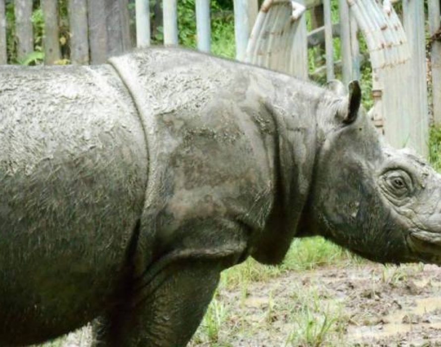 Sumatran rhino, Iman's health is deteriorating – Liew