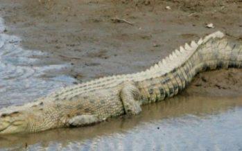 Five foot long croc sighted on Tanjung Kubong beach Labuan