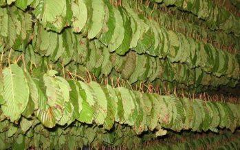 Over 140 tonnes of ketum leaves seized from Jan-Nov