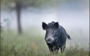 Perhilitan hunts down wild boars roaming in Nilai residential areas