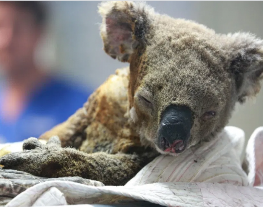 Koalas, wallabies endangered by Aussie bushfires