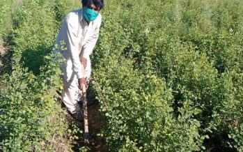As a 'green stimulus' Pakistan sets virus-idled to work planting trees
