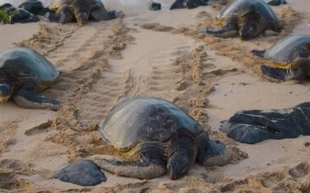 Viral video: Large number of rare turtle nests spotted in now-empty Thailand beaches
