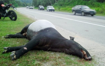 Six tapirs become roadkill victim in less than two months