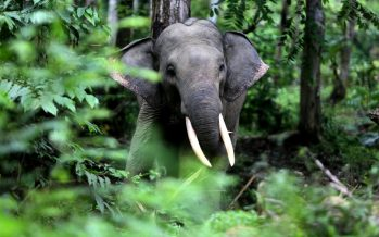 Straying elephants to be driven into Tabin Forest Reserve