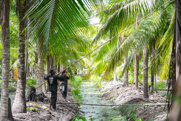 """Farmers use long stick or """"Mai Soi"""" to pick coconuts in the plantation"""