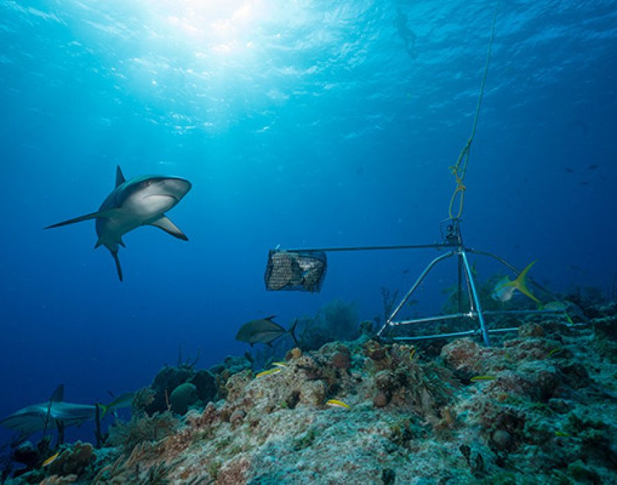 First-of-its-kind Global Survey Reveals Sharks are Functionally Extinct from Many Reefs