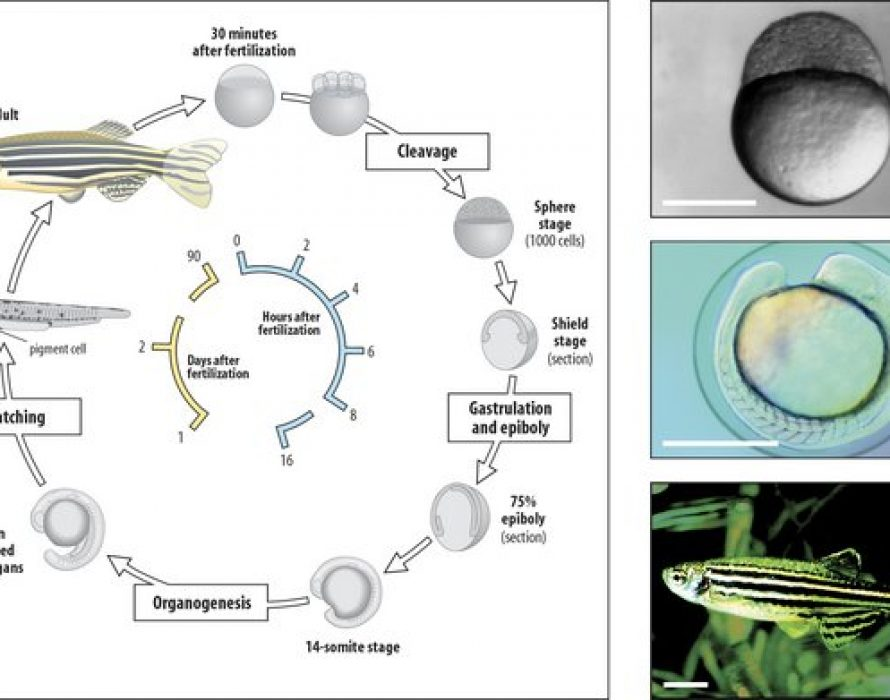 """""""White Mouse in Water"""" – Infinitus Develops New Technology of Using Zebrafish for Health Products Screening"""