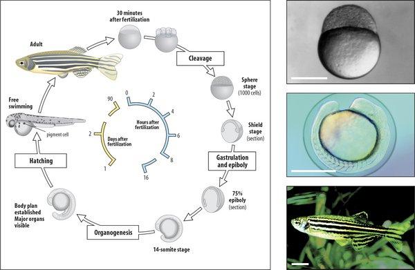 Growth cycle diagram of zebrafish