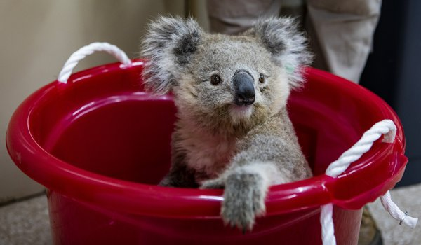 Citi Australia is partnering with Taronga Conservation Society, and sponsoring the Koala exhibit | Photographer: Rick Stevens