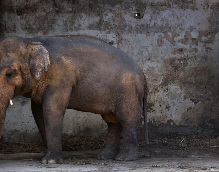 World's loneliest elephant quit Islamabad zoo for new life in Cambodia