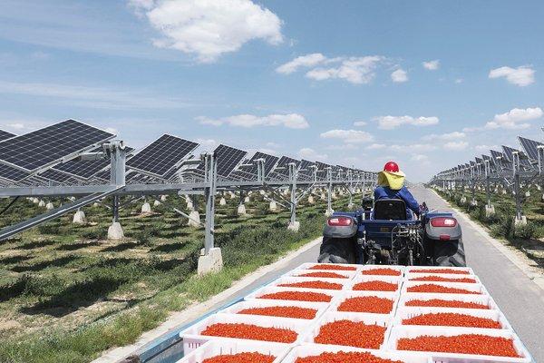 Employee transporting Goji berries in the solar field