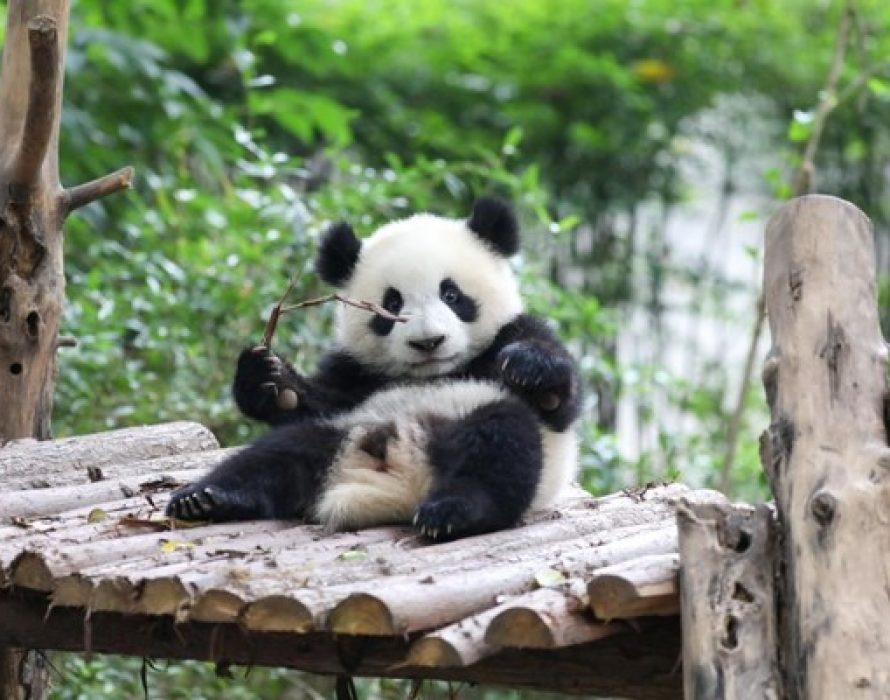 Chengdu: A must-visit destination for panda fans
