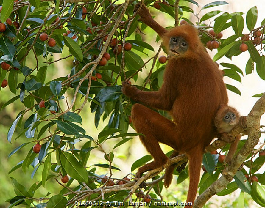 Red Leaf Monkey species flourishes in Sabah's undisturbed jungles
