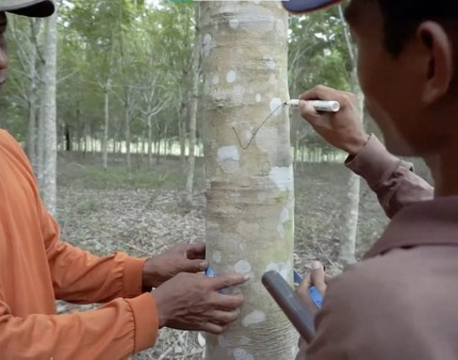HeveaConnect and SNV partner to develop agronomy training modules for natural rubber smallholders in Indonesia