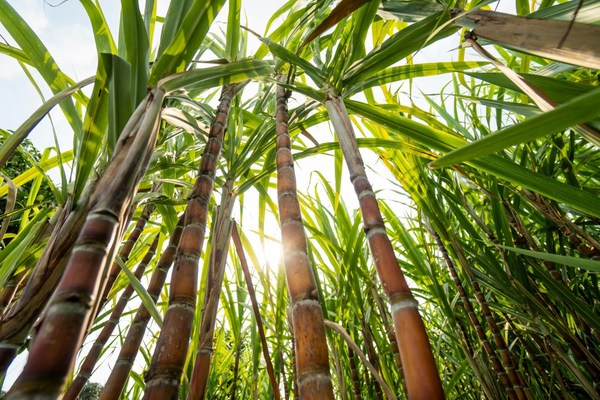 Thailand's status as a major producer of sugarcane, together with its strategic location and strong logistics networks have made the country the leader in bioplastics production in Southeast Asia, and a favorite destination for investment in this fast growing sector.