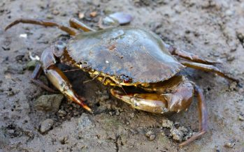 Man attempting to smuggle in mud crabs nabbed in Tawau waters