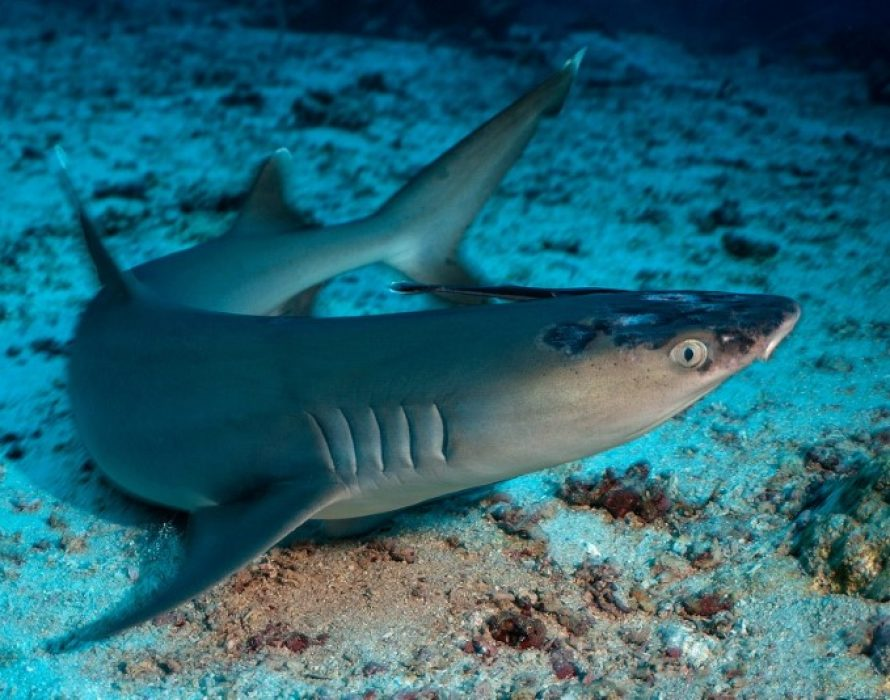 Malaysia's reef sharks stricken with mystery skin disease