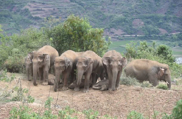 Photo taken on June 21, 2021 shows adult Asian elephants stand in rows to shade the little ones. (Photo provided by Cui Yonghong)